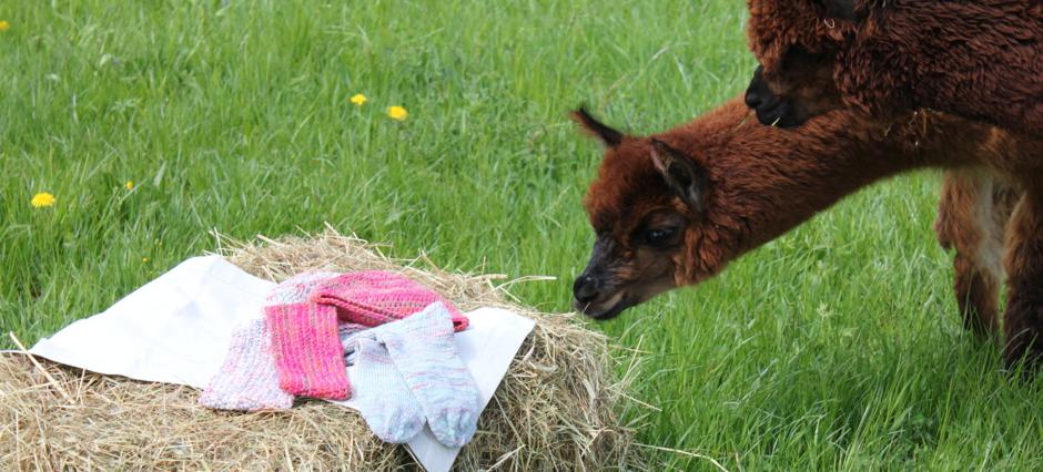 Alpakawolle Eigenschaften niedergerner alpaka ranch eigenschaften der alpakafaser